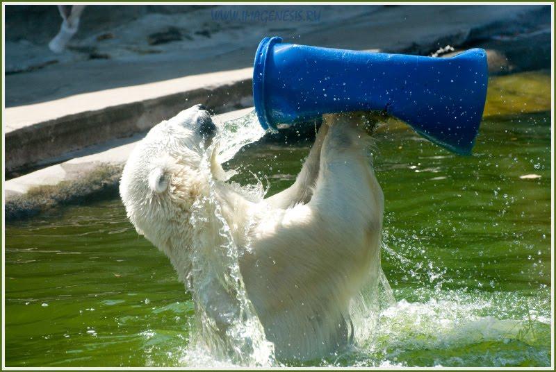 polar bear swimming cooling белый медведь купается охлаждается автор Демидов Игорь