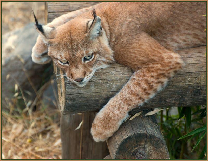 lynx at Portugal zoo рысь в португальском зоопарке автор Демидов Игорь