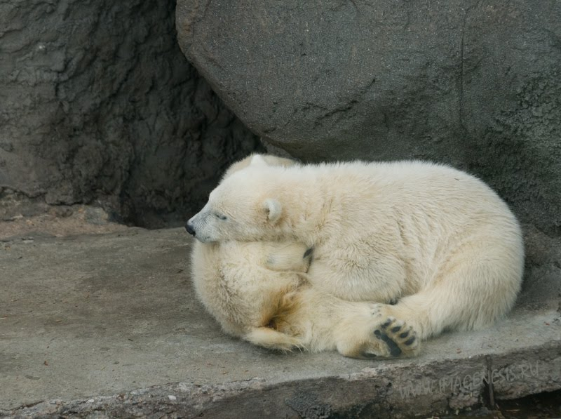 friendship love white bear идилия дружба белых медвежат автор Демидов Игорь