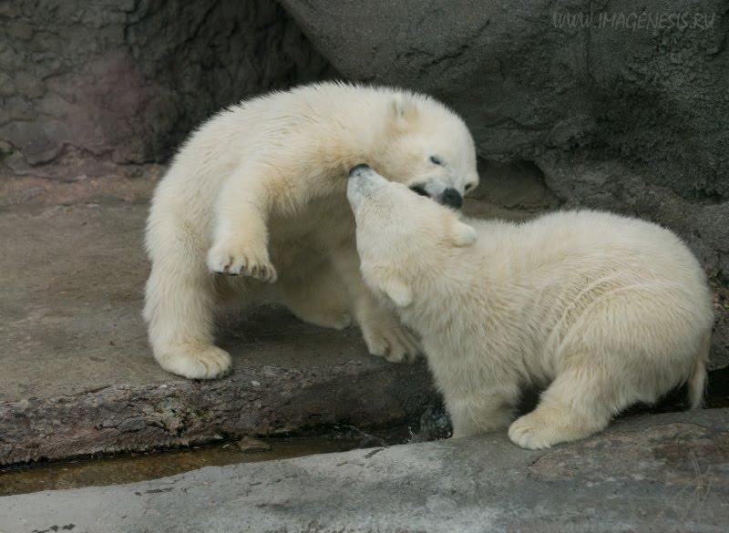 conflict white bear fight struggle потасовка драка белых медвежат автор Демидов Игорь