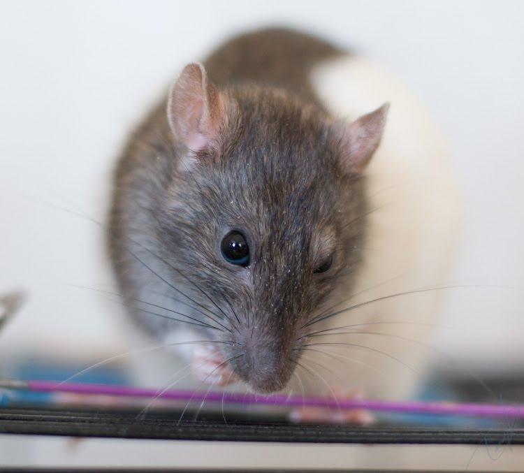 Портрет крысы Мотильды пристальный взгляд одним взглядом автор Демидов Игорь stare of one eye of rat Motilda