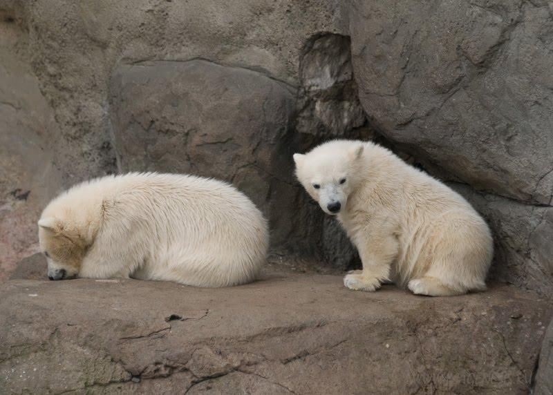 offence white bear обида бойкот белых медвежат автор Демидов Игорь