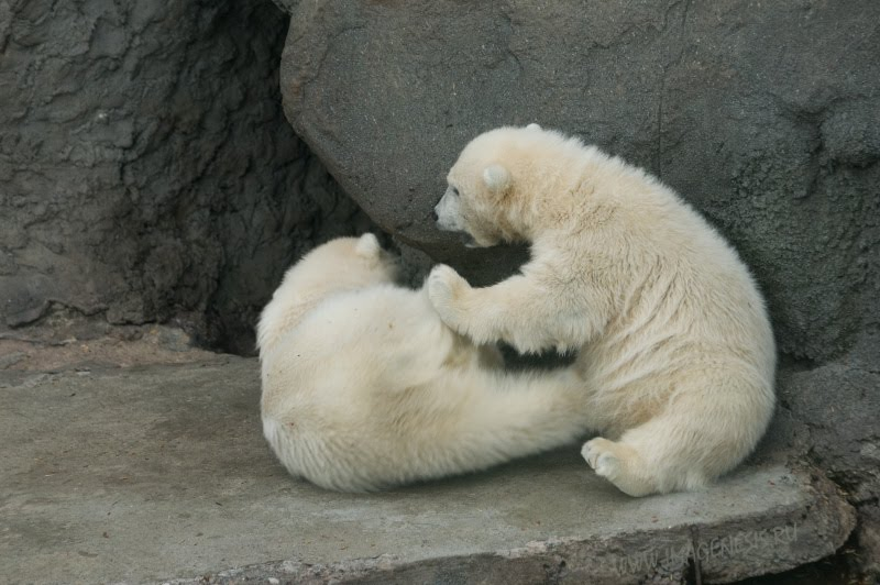 kick conflict white bear fight struggle потасовка драка белых медвежат пинок автор Демидов Игорь