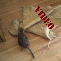 wiping the floor video degu Sverchok