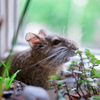 Сверчок ест траву дегу прозрачные уши