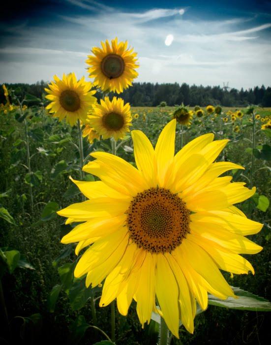 Подсолнухи поле небо солнце автор Демидов Игорь sunflowers field open air grass sun