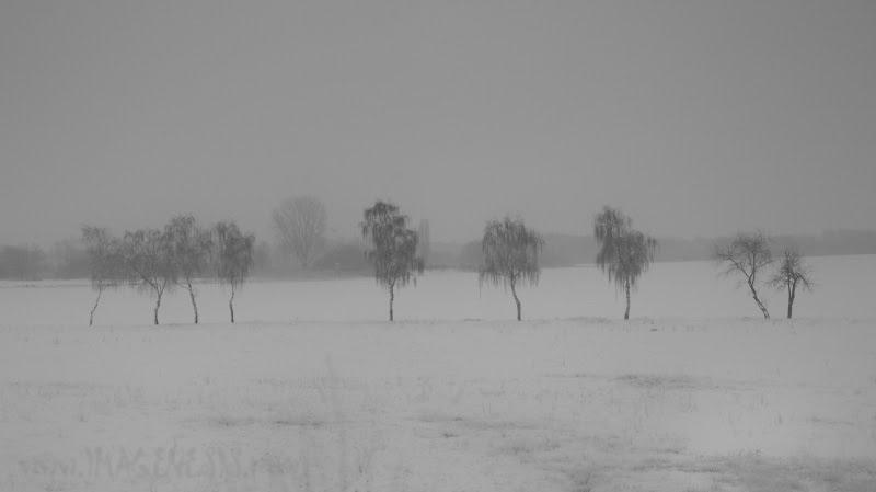snow field with tree rows снежное поле с рядами деревьев