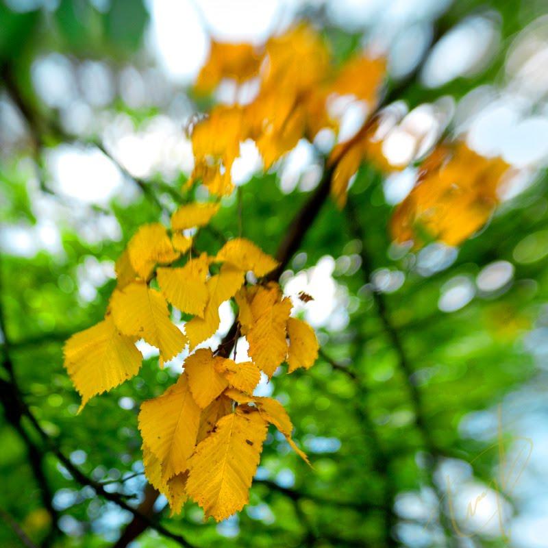 Начало осени первые жёлтые листья на изумрудном фоне автор Демидов Игорь beginning of autumn first yellow leaves on emerald background