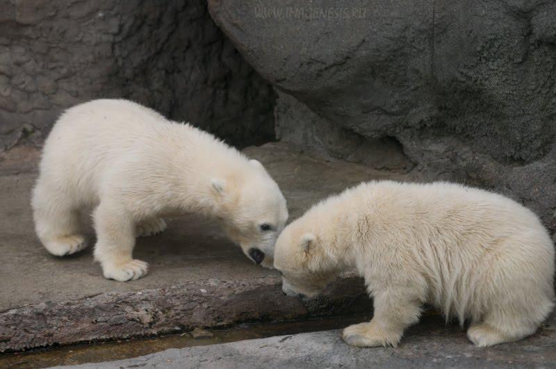 conflict white bear squabble перепалка оскорбления ссора белых медвежат автор Демидов Игорь