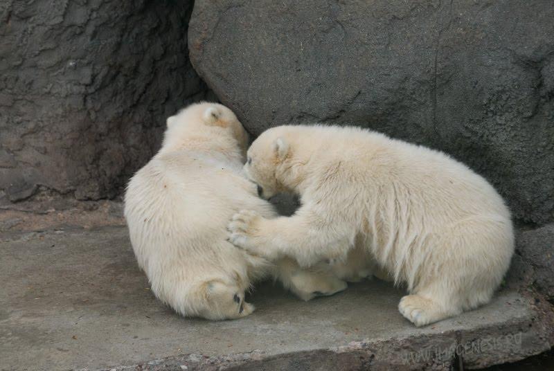 conflict white bear fight struggle bite потасовка драка белых медвежат укус автор Демидов Игорь