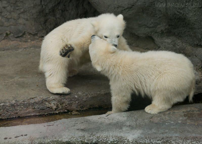 conflict white bear fight slap struggle потасовка оплеуха драка белых  медвежат автор Демидов Игорь