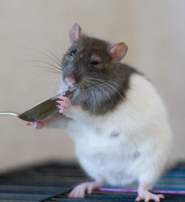 крыса Мотильда облизывает ложку с творогом автор Демидов Игорь Motilda rat liks spoon with cottage cheese