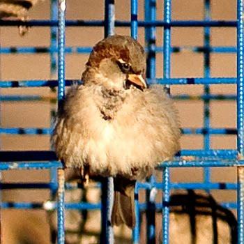 воробей сетка сидит на солнце автор Демидов Игорь sparrow sitting in the sun