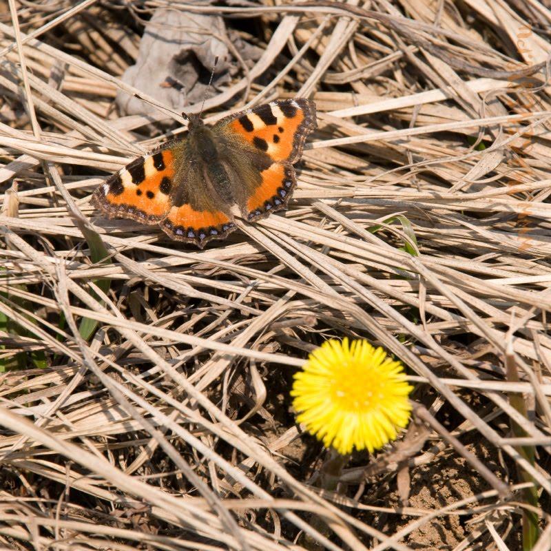 dry grass butterfly and yellow flower сухая трава бабочка и мать и мачеха автор Демидов Игорь