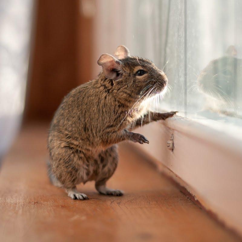 Сверчок дегу сидит на подоконнике и смотрит в окошко автор Демидов Игорь degu Sverchok sitting near window and watching outside