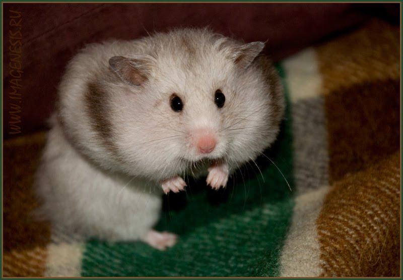 hamster with big chins хомяк с набитыми щеками автор Демидов Игорь