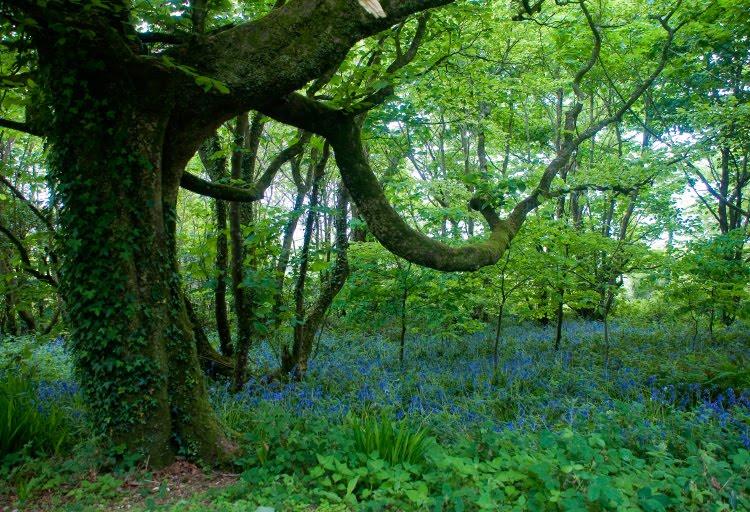 поляна с маленькими синими цветами под кроной дерева автор Демидов Игорь small blue flowers under big tree crown