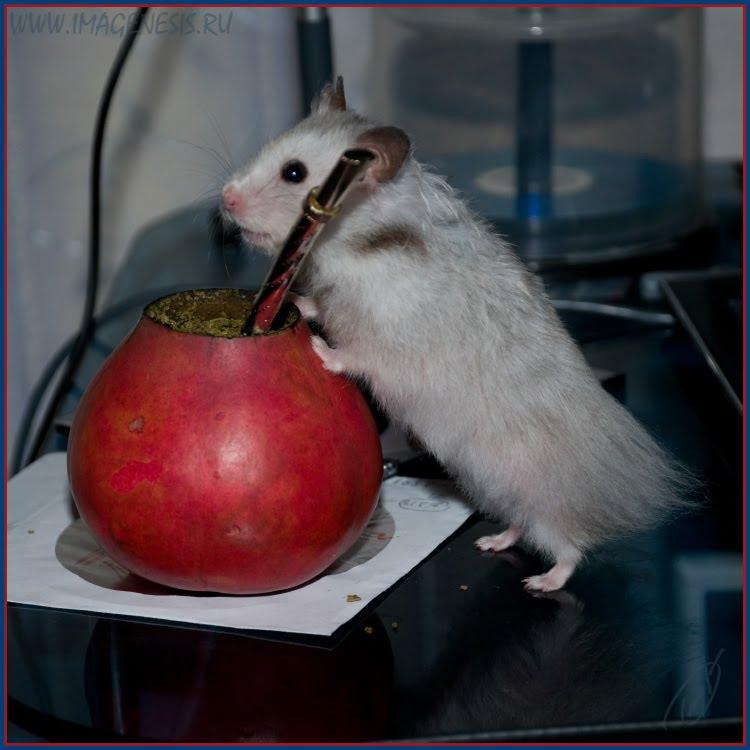 hamster mate kalabas bombillia хомяк калабас бомбилья автор Демидов Игорь