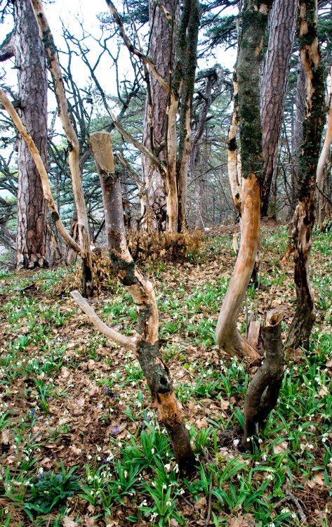 snowdrops подснежники лес горы дерево Демидов Игорь