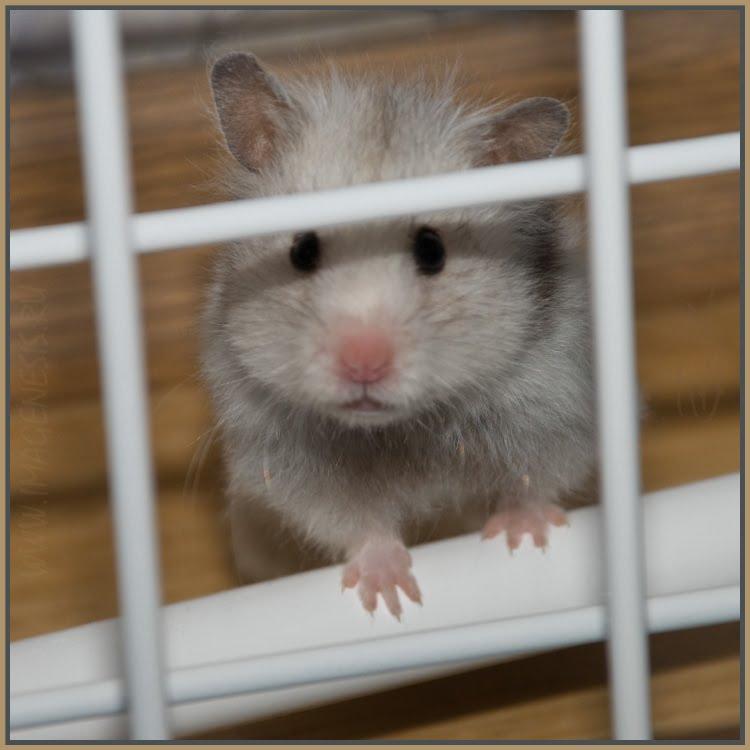 hamster bhind bars хомяк за решеткой автор Демидов Игорь