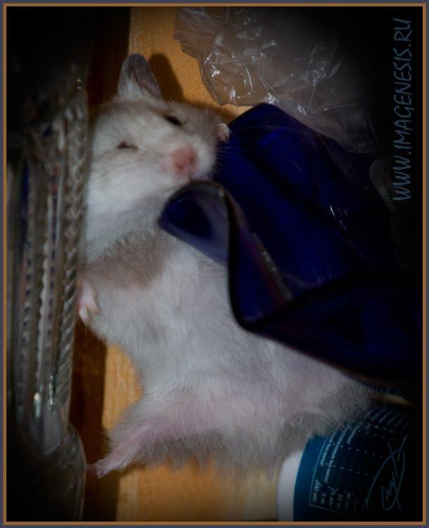 glass climbing hamster хомяк лезет по стеклу автор Демидов Игорь