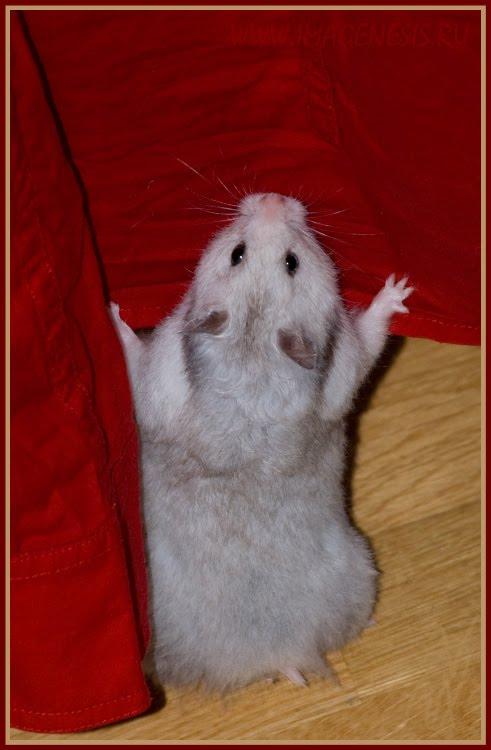 hamster prepearing to climb up the shirt хомяк готовится залезть на рубашку автор Демидов Игорь