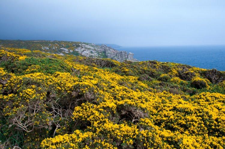море жёлтых цветущих колючек на скалах Корнуэла автор Демидов Игорь Cornwall rocks with yellow thorns