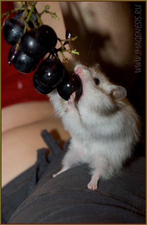 hamster puling grapes хомяк тянущий на себя виноград автор Демидов Игорь