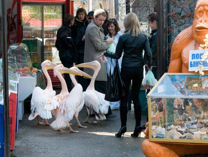 pelican robber пеликан налётчик попрошайка