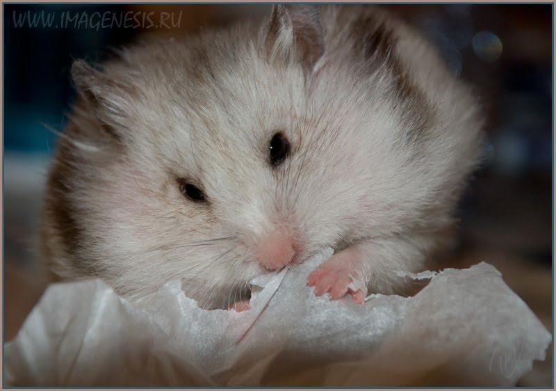 hamster making curtain хомяк делающий себе занавесочку автор Демидов Игорь
