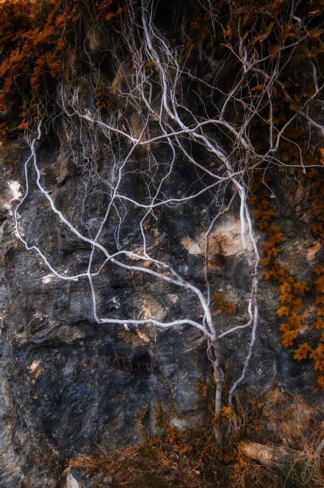 дерево мёртвое плющ вены сосуды артерии dead tree ivy vein artery автор Демидов Игорь