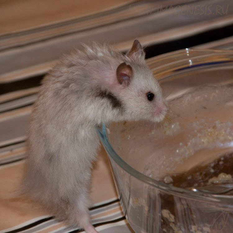 hamster trying to get gruel climbing to plate хомяк лезет за кашей по стеклянной тарелке автор Демидов Игорь