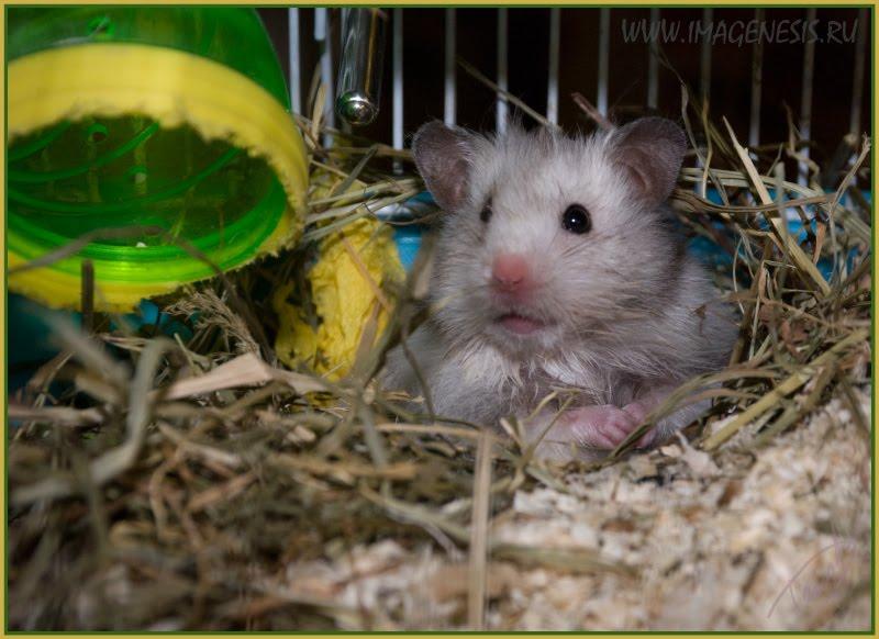 hamster in his nest house хомяк в своём гнезде домике автор Демидов Игорь