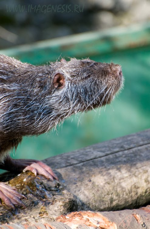 moskrat ондатра водяная крыса