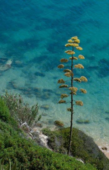 agave spear sea стрела агавы над морем автор Демидов Игорь