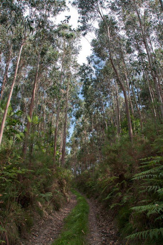 Дорога через эвкалиптовый лес в Басиго автор Демидов Игорь Basigo eucalyptus forest mountain path