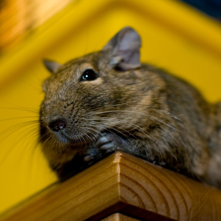 degu sitting on wood big nose bright eye in camera mamals rodents Дегу сидит на полке смотрит в камеру Сверчок автор Демидов Игорь