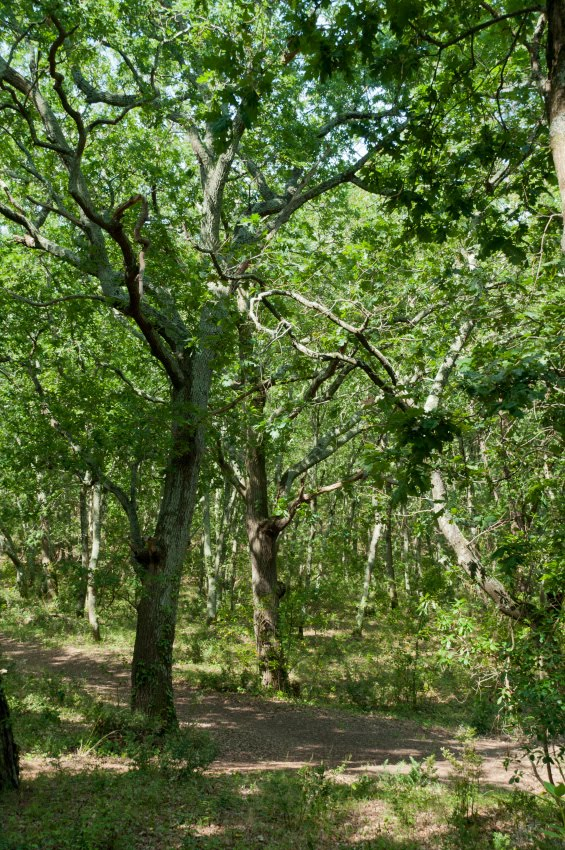 Дорожка сквозь дубраву в Аркашоне автор Демидов Игорь oak grove path in Arcachon