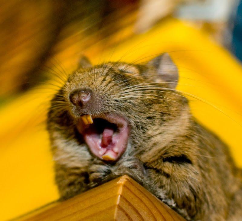 degu wide open mouth great yawn Sverchok дегу Сверчок с широко открытым ртом зевает автор Демидов Игорь