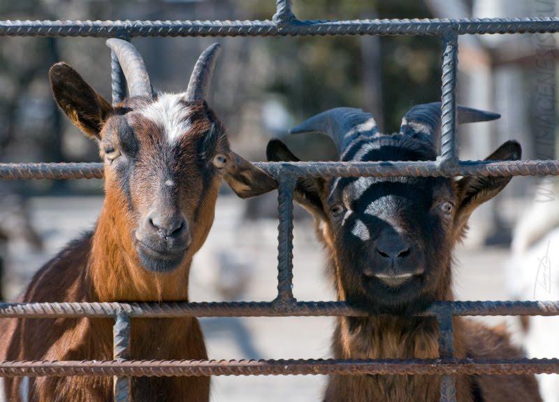 goat friends fence решетка козёл друг Демидов Игорь