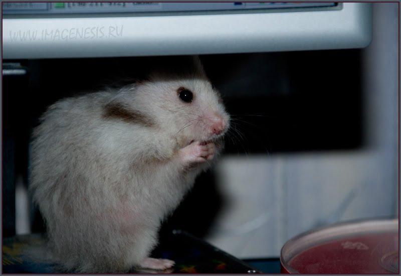hamster hiding eating хомяк прячется и ест автор Демидов Игорь