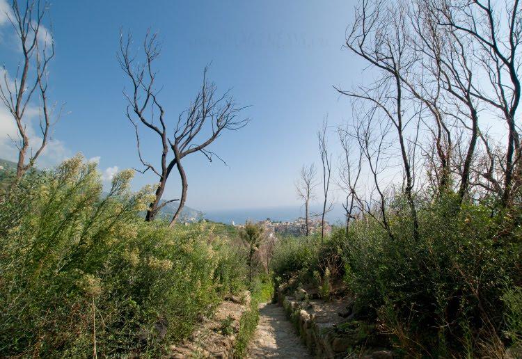аллея Чинкве Терра деревья мёртвые автор Демидов Игорь dead trees alley Cinque Terre