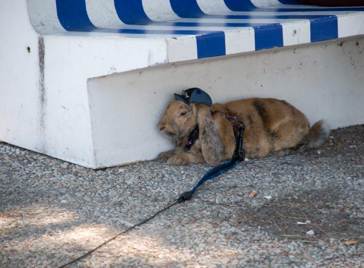 кролик в кепке гуляет на поводке лежит в тени автор демидов Игорь rabbit in a peaked cap walking on a lead