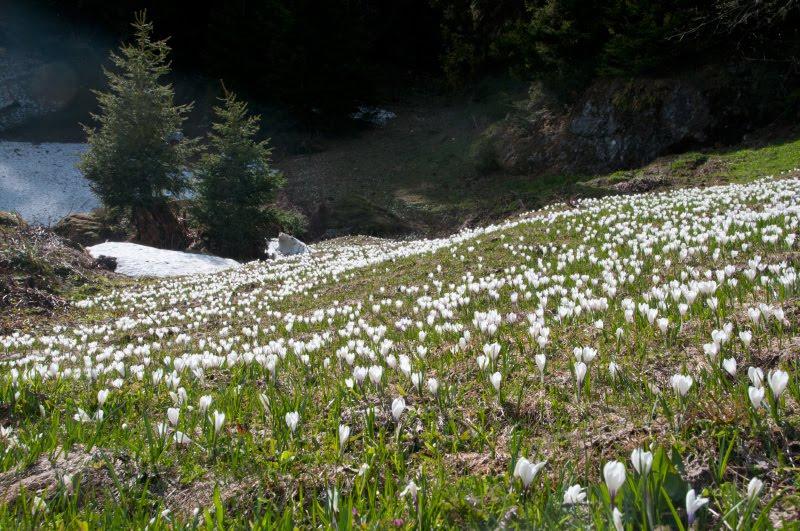 Цветущий луг подснежники Альпы трава весна автор Демидов Игорь blooming meadow green grass white flowers Alpen view