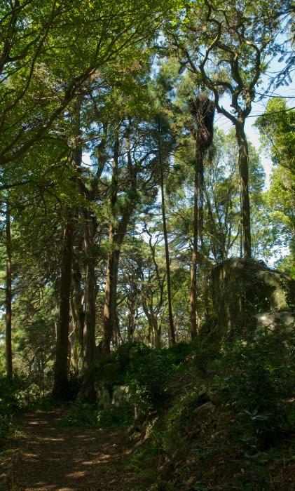 Парк Синтры вокруг дворца Пена волшебный лес высокие деревья густой мох автор Демидов Игорь high trees moss on rocks magical forest of Sintra and Pena
