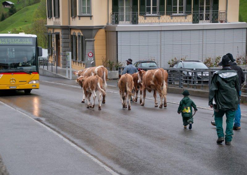 Small Swiss Cowboy walking cows at the street of Lauterbrunnen маленький пастух гонит коров через улицы Лаутербруннена автор Демидов Игорь